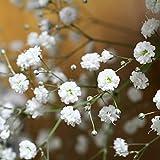 Oce180anYLVUK Semillas, 100 Unids/Bolsa Semillas Perennes De Gypsophila Paniculata Llenas De Vitalidad Semillas De Flores Riego Luz Blanca Para Balcón Semillas de Gypsophila