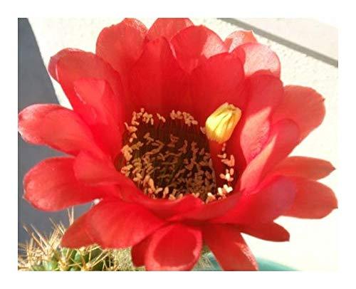 Echinopsis obrepanda v purpurea rot - syn: Pseudolobivia obrepanda v purpurea rot - 10 graines