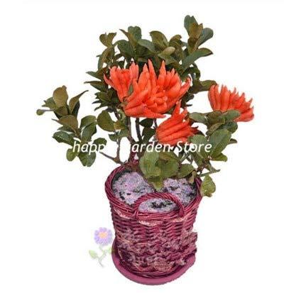 GETSO 20 Stück Bonsai Citrus Medica sarcodactylis selten Fünffinger-Orange Bonsai Pflanzen ausdauernde Innen-orange Frucht Baum Topfpflanzen