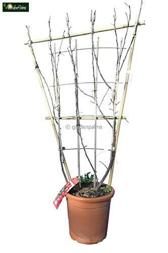 Zwerg-Apfelbaum - Sorte Malus domestica Appletini - 160-180cm Topf Ø 36cm am Spalier - Speditionslieferung