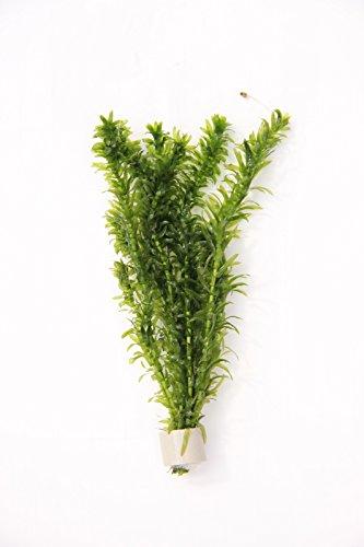 Deko im Trend Egeria densa Elodea densa Wasserpflanze Wasserpest Pflanze 1 Tonringe 5-6 Stengel