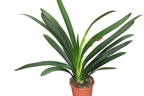 Plante d'intérieur - Plante pour la maison ou le bureau - Clivia miniata - Bonnes plantes d'environ 40 cm de hauteur.