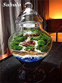 Vert mousse Graines 120 Pcs exotiques rares Graines Bonsai Moss Belle Moss Boule décorative Jardin créatif herbe Graines Plante en pot 7