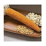 David's Garden Seeds Popcorn Robust SL9385 (Yellow) 100 Non-GMO, Hybrid Seeds