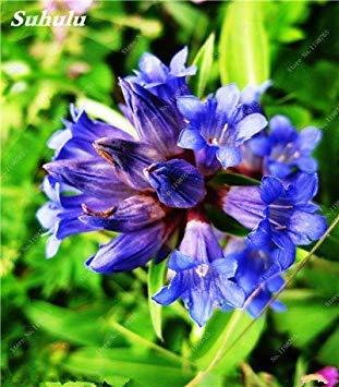 100 Stück largeleaf Gentian blaue Samen Seltene Gentianopsis Blumensamen Stauden Bonsai Anlage für Hausgarten-Dekor-freien Verschiffen 2