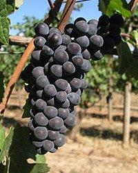 Grape Wine Vines Potted Greenvine -...