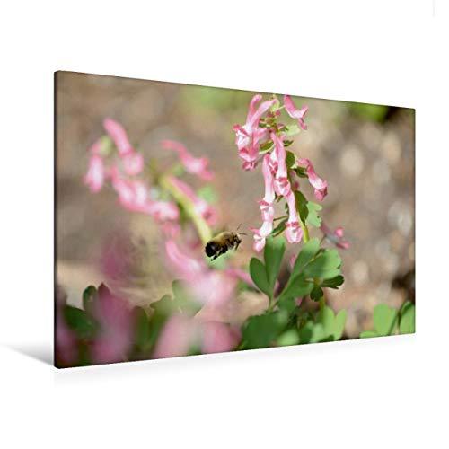 CALVENDO Premium Textil-Leinwand 120 x 80 cm Quer-Format Wildbienen. Die Pelzbiene am Lerchensporn, Leinwanddruck von Anja Frost