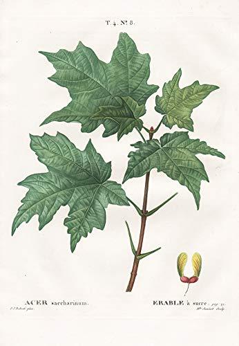 Acer saccharinum - Acer saccharinum /...