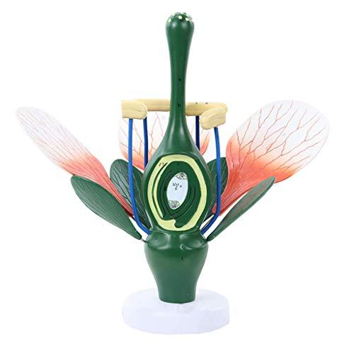 WEHOLY Bildungsmodell Pfirsichblütenmodell Pflanze Anatomisches Modell - Dikotyle Blütenstruktur Anatomie Grüne Pflanze Staubblatt Stempel Biologie Wissenschaft Lehre Dämonenmodell