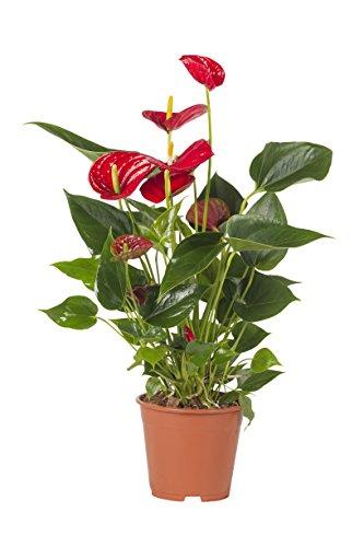 Pianta Vera fiorita Ornamentale ANTURIO ANTHURIUM Rosso 'Splendor' - Evergreen Ø 14 cm - h 60 cm