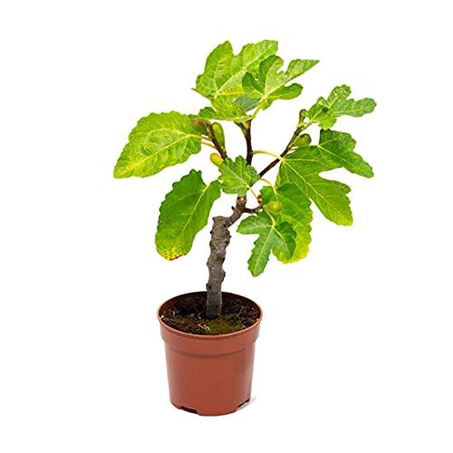 Higuera Árbol Frutal Natural de Exterior Ficus Carica Planta Pequeña en Maceta