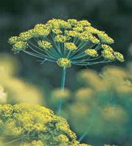 Semilla de eneldo, Bouquet, herencia, orgánico, no GMO, 25+ SEMILLAS, hierba fresca...
