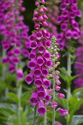 Seedeo Roter Fingerhut Digitalis purpurea 200 Samen