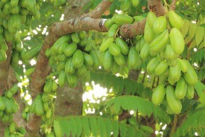 Gurkenbaum Averrrhoa bilimbi 5 Samen