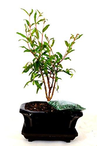 9GreenBox - Dwarf Pomegranate Mame Bonsai with Ceramic Pot Live Plant Ornament Decor for Home, Kitchen, Office, Table, Desk - Attracts Zen, Luck, Good Fortune - Non-GMO, Grown in The USA