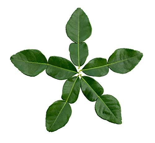 US Citrus - Fresh Kaffir (Makrut) Lime Leaves - (30 grams) - Contains Natural Essential Oils for Remarkable Flavor