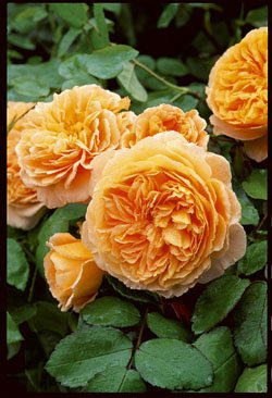 'Crown Princess Margareta' -R-, Englische Rose im 4 L Container