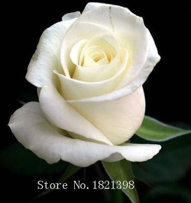 100PCS Fleur Rose Graine Hollande Amoureux des semences cadeau Orange Vert arc-en-RARE Couleur 24 Bricolage choisir le jardinage Fleur 5
