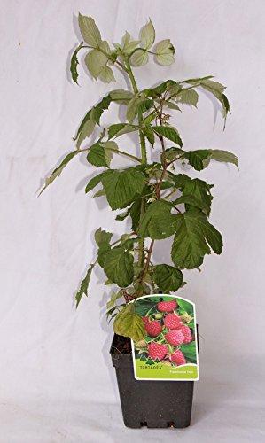 Frambuesa roja (maceta 2 litros) - Arbusto frutal vivo