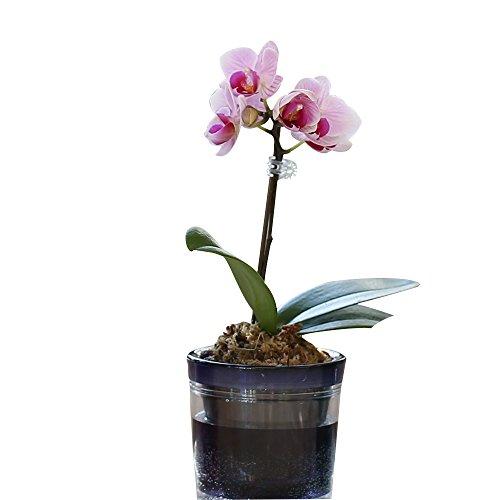 【母の日受付締切5/1】ミニ胡蝶蘭 マイクロ胡蝶蘭2.5号鉢植え アクアポット 1本立て /お中元 ギフトに花のプレゼント 開店祝いに 母の日 (ライトピンク)