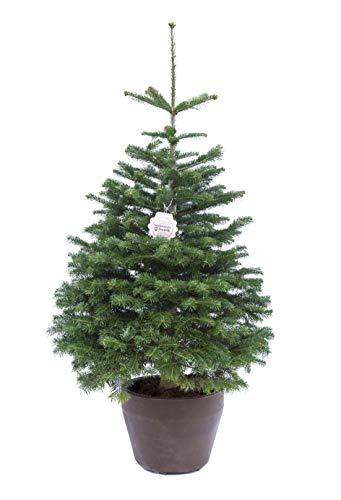Abies nordmanniana, vero Albero di Natale, Abete di Natale, Pianta vera in vaso di design