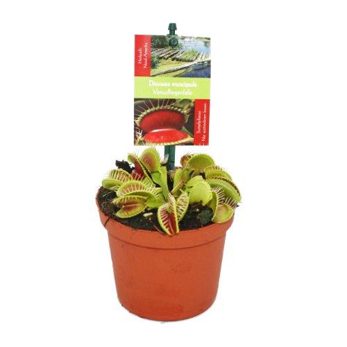 Exotenherz - Venusfliegenfalle - Dionaea muscipula - 9cm Topf