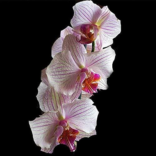 TENGGO Egrow 100 Unids/Bolsa Orquídea Cymbidium Semillas Plantas de Orquídeas de Mariposa de Seda Flor Boda Decoración Semillas Decoración del Hogar Plantas de Flores de Cymbidium - 3