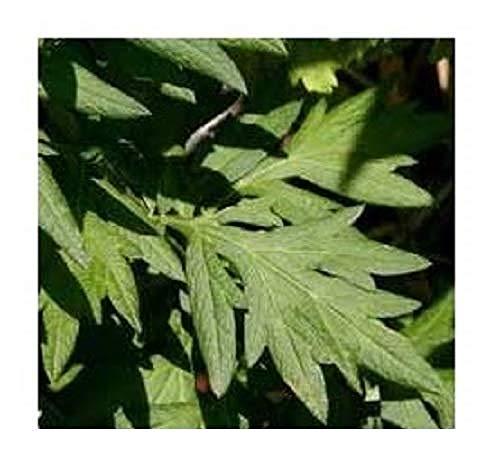 David's Garden Seeds Herb Mugwort SL9186 (Green) 500 Non-GMO, Heirloom, Seeds
