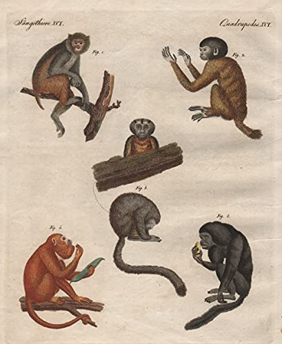 Säugethiere XCI. - Merkwürdige Affen - 1) Der Rhesusaffe. 2) Der Cacajao. 3) Der Durikuli. 4) Der Araguato. 5) Der Cuxio. - Affe Affen monkeys Uakaris uakari Brüllaffen howler monkey / Bilderbuc ...
