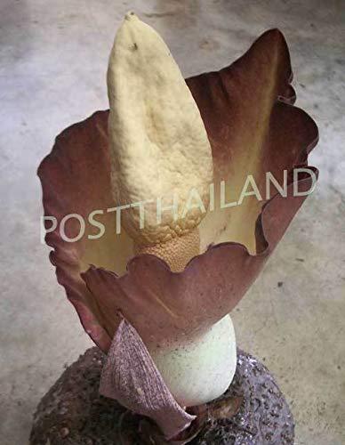 FERRY Bio-Saatgut Nicht nur Pflanzen: AMORPHOPHLUS KORATENSIS Voodoo Lilie Free Phytosanitiary Zertifikat