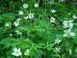 Somarac - Fresh Seeds - Anemone virginiana 250 Seeds