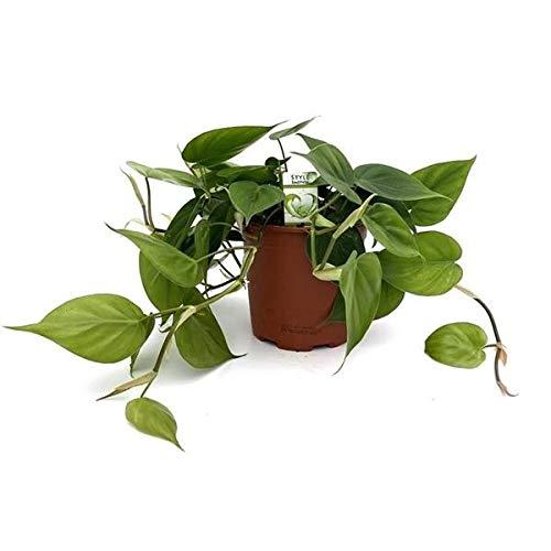 Kletternder Philodendron 20 cm Topf 12 cm Ø - Philodendron scandens - Baumfreund