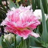 特徴:球根を持つユリ科のチューリップ属の多年生草本。チュウリップタネ サイズ:球根は円錐形で直径2/3cm程度 習性:日向を好み、風を避け、寒さに强く、暑さに弱い 花言葉は「博愛・思いやり」。上品。富貴。やり手。聡明で、善良である。 著名な球根花ですが、切り花にも优れています。