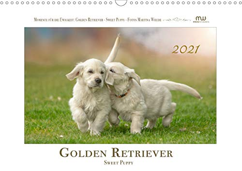 Golden Retriever - Sweet Puppy (Wandkalender 2021 DIN A3 quer)