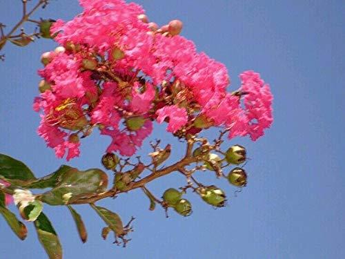 PLAT FIRM GRAINES DE GERMINATION: Plus de 750 graines de myrte de crêpe rose DK + CADEAU GRATUIT!* Vendeur USA!
