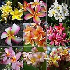 Nouveau jardin des plantes 3 Graines Mix-Color réel frais Plumeria Rubra Frangipani Lilavadee Arbre Fleur Graines