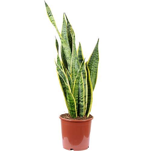 Bogenhanf - Sansevieria trifasciata Laurentii - Höhe ca. 65 cm, Topf-Ø 17 cm