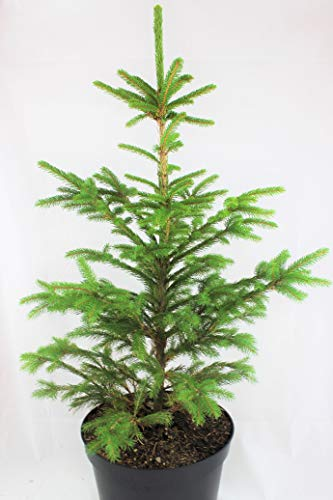 Real, Living Norway Spruce Christmas Tree 3-4ft (90-120cm) (Tree)