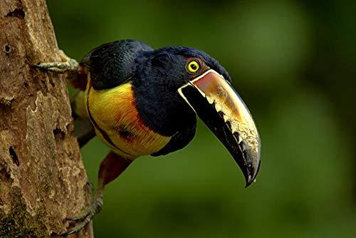 Zjxxm 1000 Piezas Rompecabezas de Madera de Hijos Adultos Niños pájaro Tucanes Collared Aracari Pico Animales Jigsaw Puzzle para Juegos Casuales de Bricolaje Divertidos Juguetes de Regalo -75x50cm