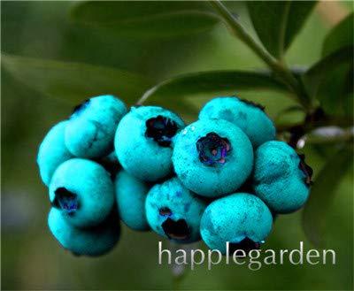 Bloom Green Co. Vente! 100 Pcs/sac bonsaïs aux bleuets comestibles de plantes fruitières Heirloom Bio Nain Blueberry Bonsaï Plante en pot pour jardin: 4