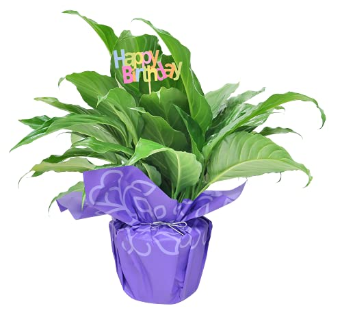 Costa Farms Spathiphyllum Peace Lily Live Indoor Plant, Gift, 15-Inch