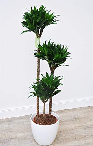 Drachenbaum 'Dracaena d. Compacta Tuff' im 21 cm Topf, 3er Tuff, grün, Höhe ca. 90 cm