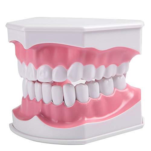 Zahnmodell für Erwachsene Zahnmodell und Zahnbürste mit abnehmbarem, hochwertigem Zahnlehrmodell