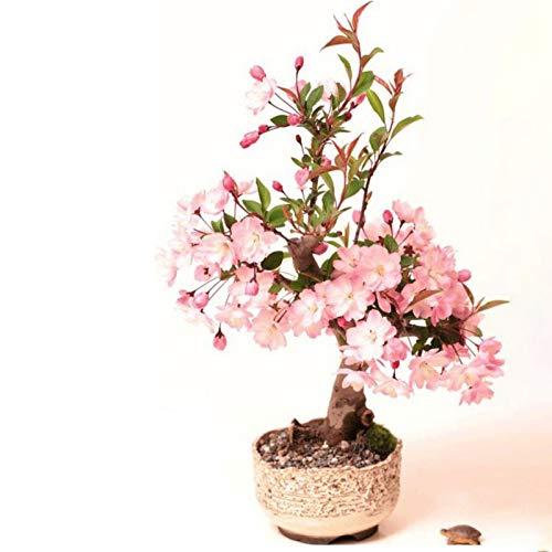 B Creative Cherry Blossom Bonsai Japanese Sakura Tree Flower Plant 20 Viable Seeds Buy Online In Hong Kong At Desertcart Hk Productid 148770955