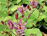 SB Tricyrtis formosana Purple Beauty Specimen Woodland Shade Perennial Plant Orchid