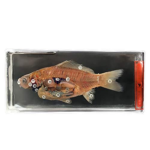 LUCKFY Fisch-Anatomie-Modell - Fisch Dissection Specimen - Präparatoren Aquatic Creatures Proben für wissenschaftliche Ausbildung Mittelschule Lehre Instrumente