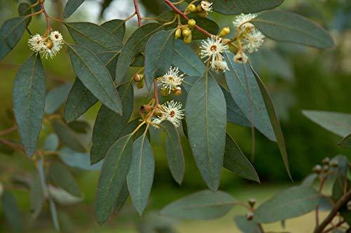 Mostgummi-Eukalyptus Eucalyptus gunnii Pflanze 5-10cm Eukalyptus Cider Gum