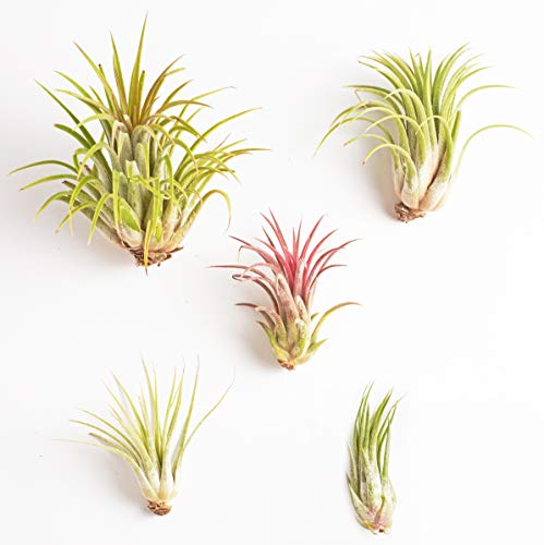 Shop Succulents Live Ionantha Hand Selected Variety Pack of Air Plants (Collection of 5), 5 Pack