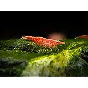 Aquatic Arts Sakura Red Cherry Shrimp Breeder Combo Pack (Neocaridina davidi) - 10 Females, 5 Males at 1/2 to 1 Inch Long