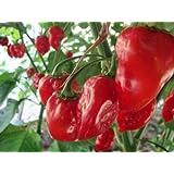ハバネロレッドペッパー種子 - 100個の種子